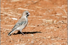 Scaly-feathered-finch