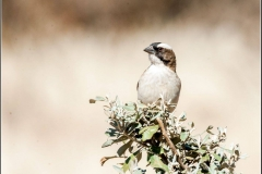 white-browed-sparrow-weaver