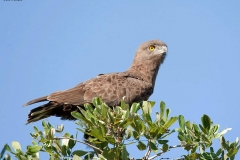 Brown-Snake-Eagle-3