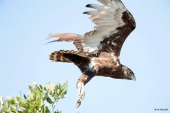 Brown-Snake-Eagle-taking-off