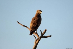 Brown-Snake-eagle