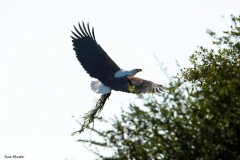Fish Eagle with nest material