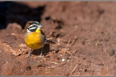 Golden-breasted-Bunting